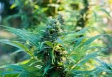 Marihuana Teil 1: Cannabis, Haschisch, Gras was ist das überhaupt?